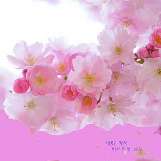 벚꽃은 활짝